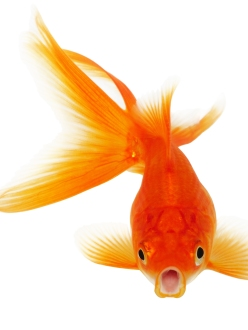 Goldfish Diet Fat