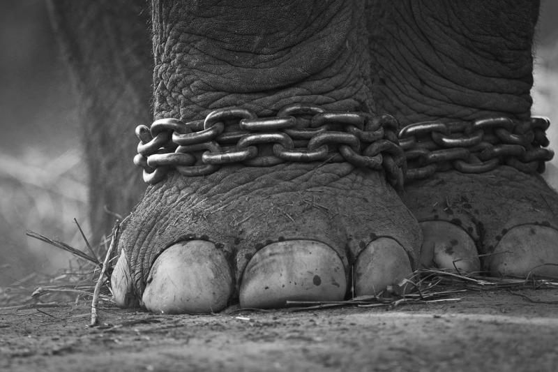 starvrd elephant